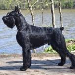 Ризеншнауцер щенки чёрного окраса, Сургут