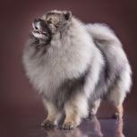 Породные щенки вольфшпица (кеесхонда), Сургут