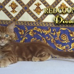 Котёнок мейн кун красный. Шоу класс. Из питомника, Сургут