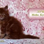 Котёнок мейн кун красный солид. Шоу класс. Питомник, Сургут